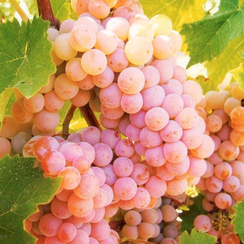 виноград розовый фото своими